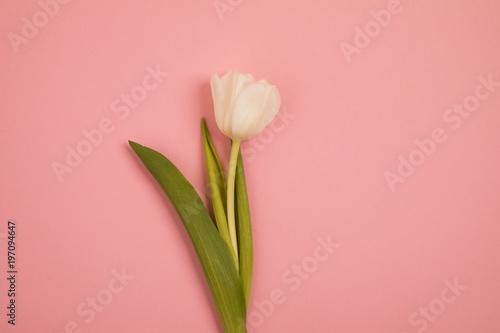 Fototapety, obrazy: Tulip flower postcard