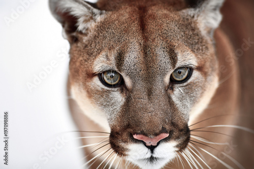Poster Puma Beautiful Portrait of a Canadian Cougar. mountain lion, puma, panther, Winter scene in the woods. wildlife America