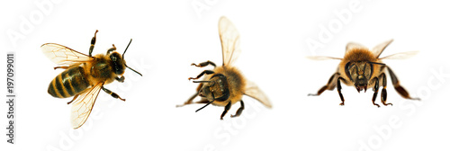 Recess Fitting Bee group of bee or honeybee in Latin Apis Mellifera