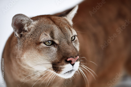 Spoed Fotobehang Puma Beautiful Portrait of a Canadian Cougar. mountain lion, puma, panther, Winter scene in the woods. wildlife America