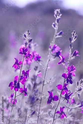 fioletowe-dzikie-kwiaty
