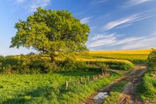 Landschaft Mit Wiese, Rapsfeld, Eiche Und Feldweg Im Frühling In Der Holsteinischen Schweiz In Schleswig-Holstein