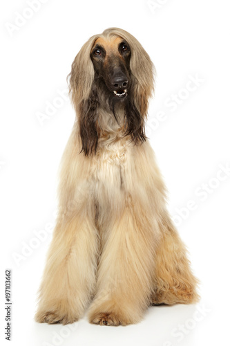 Photo Adorable Afghan hound sits