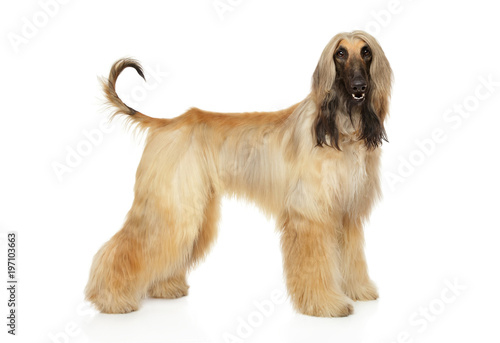 Afghan hound in stand Wallpaper Mural