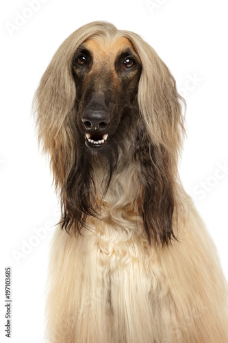 Photo Close-up of Afghan hound