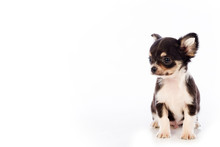 Chihuahua Puppy, 45 Day, Isola...