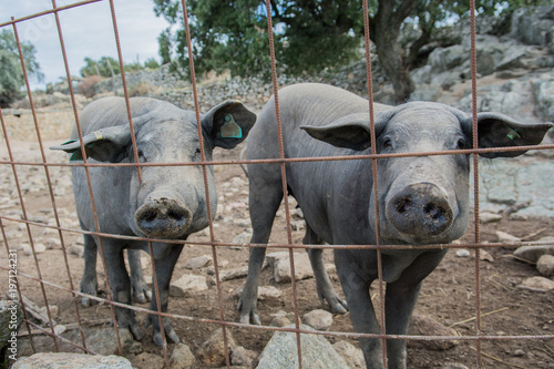 Foto  couple of Iberian pig