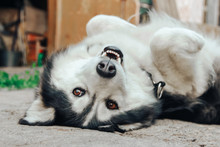 Lazy Husky Dog Sleeps On His Back In The Yard