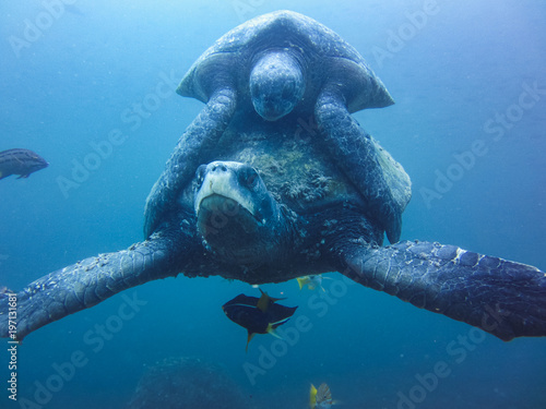 Poster Tortue two marine turtle mating underwater in galapagos islands