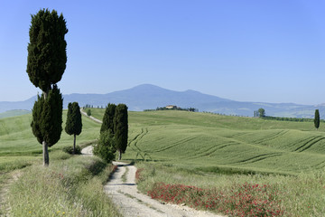FototapetaZypressen ( Cuppressus ) und Felder bei Terrapille, Pienza, Val´d Orcia, Toskana, Italien, Europa