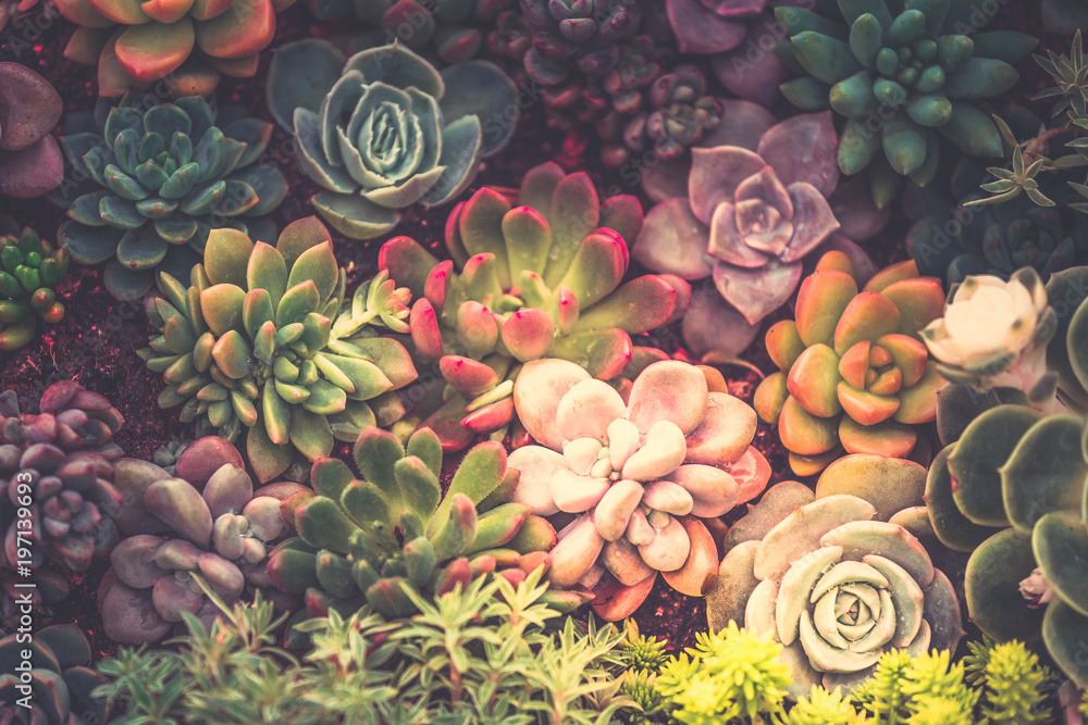 Fototapeta Close up of succulent plants, background or texture