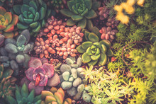 Close Up Of Succulent Plants, Background Or Texture