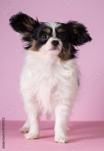 Fotografie, Obraz  Puppy of papillon breed