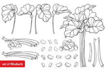 Vector Set With Outline Rhubarb Or Rheum Vegetable In Black Isolated On White Background. Contour Cut And Whole Stalk Pieces, Ornate Leaf And Rhubarb Bunch For Organic Food Design And Coloring Book.