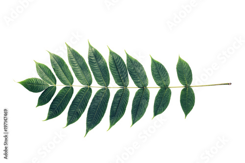 Foto  Leaf, Exotic plant, Branch, acacia, set of leaves, white backgro
