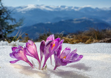 Crocuses Blossoming In A Mountain Valley And Snow-covered Mountains