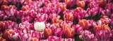 Fototapeta Tulipany - Multicolored tulips field in the Netherlands