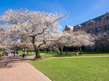 Quad Cherry Blossom