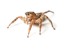 Jumping Spider On White Background