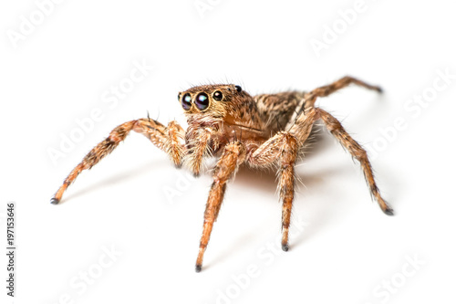 Foto jumping spider on white background