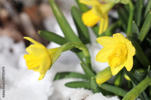 Detailaufnahme von wilden, gelben Narzissen im Schnee - als Vorboten des Frühlings
