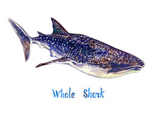 Whale Shark, Isolated On White...