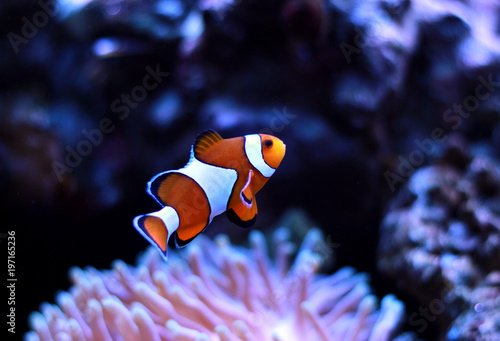 Fotografie, Obraz  Clown fish enjoy in magnifica anemone