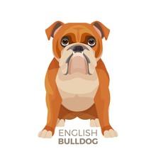 British Bulldog Medium-sized B...