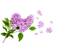 Lilac Flower On Old Wooden Bac...
