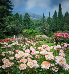 Fototapeta Ogrody Beautiful multi-colored rose garden in summer