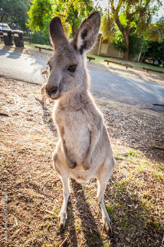 In de dag Kangoeroe Eastern grey kangaroo vertical portrait at sunset