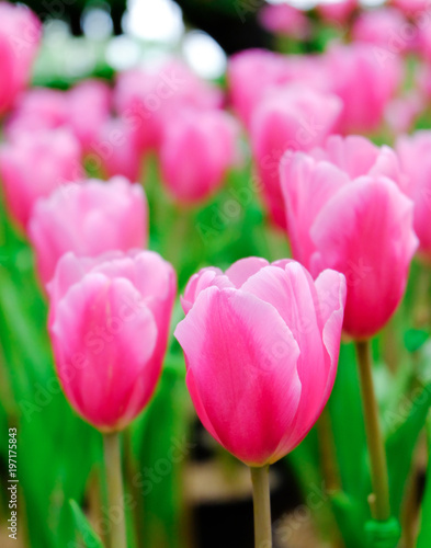 pink tulip in a beautiful field. #197175843