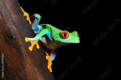 Photo red-eye tree frog  Agalychnis callidryas