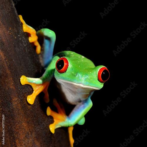 red-eye tree frog  Agalychnis callidryas