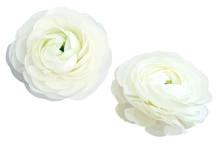 2 White Ranunculus