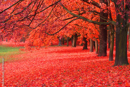 Canvas Prints Cuban Red autumn tree in the park