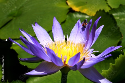 Photo Stands Water lilies water lily flower in Vietnam