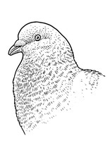 Pigeon Head Portrait Illustrat...
