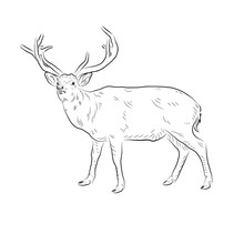 Sketch Of Deer. Handmade.
