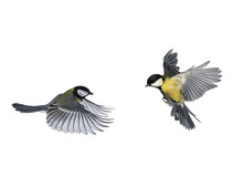 Pair Of Birds Blue Tits Flying To Meet Wings And Feathers On White Isolated Background