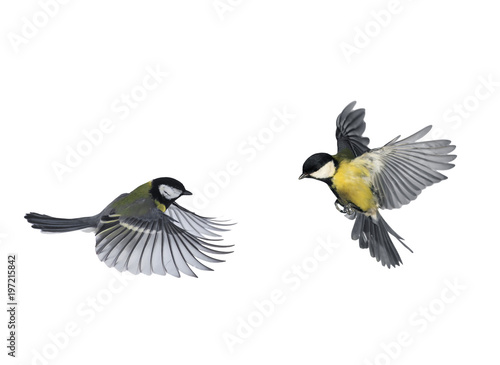 Ingelijste posters Vogel pair of birds blue Tits flying to meet wings and feathers on white isolated background