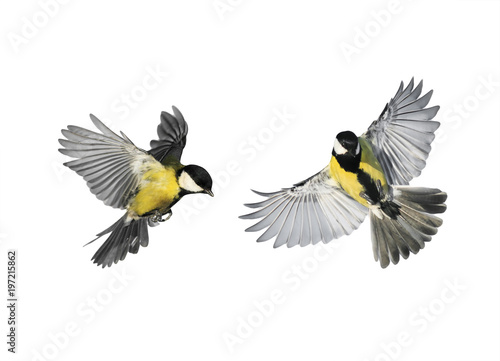 obraz PCV a couple of little birds chickadees flying toward spread its wings and feathers on white isolated background