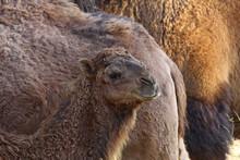 Tek Hörgüçlü Deve , Camelu...