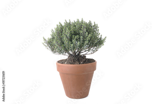 Tuinposter Olijfboom thyme in terra cotta pot isolated on white background