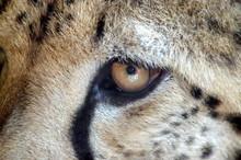 Oko Geparda