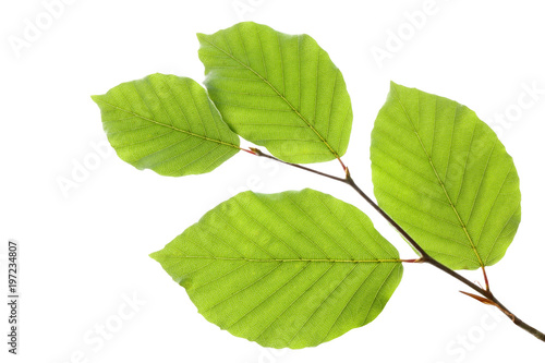 Obraz na plátně Beech leaves isolated on white background, , including clipping path, Germany
