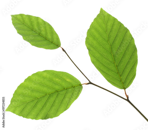 Beech leaves isolated on white background, Germany