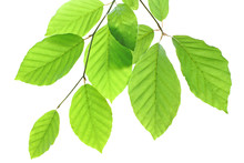 Wonderful Beech Leaves Isolated On White Background.