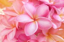 Plumeria Background Is Pink Blooming.
