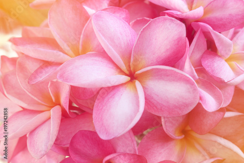 Foto op Plexiglas Frangipani Plumeria background is pink blooming.